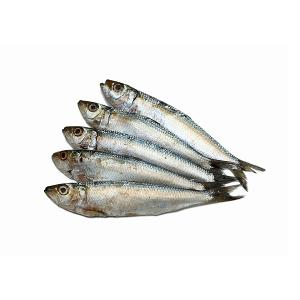Anchovy Fish
